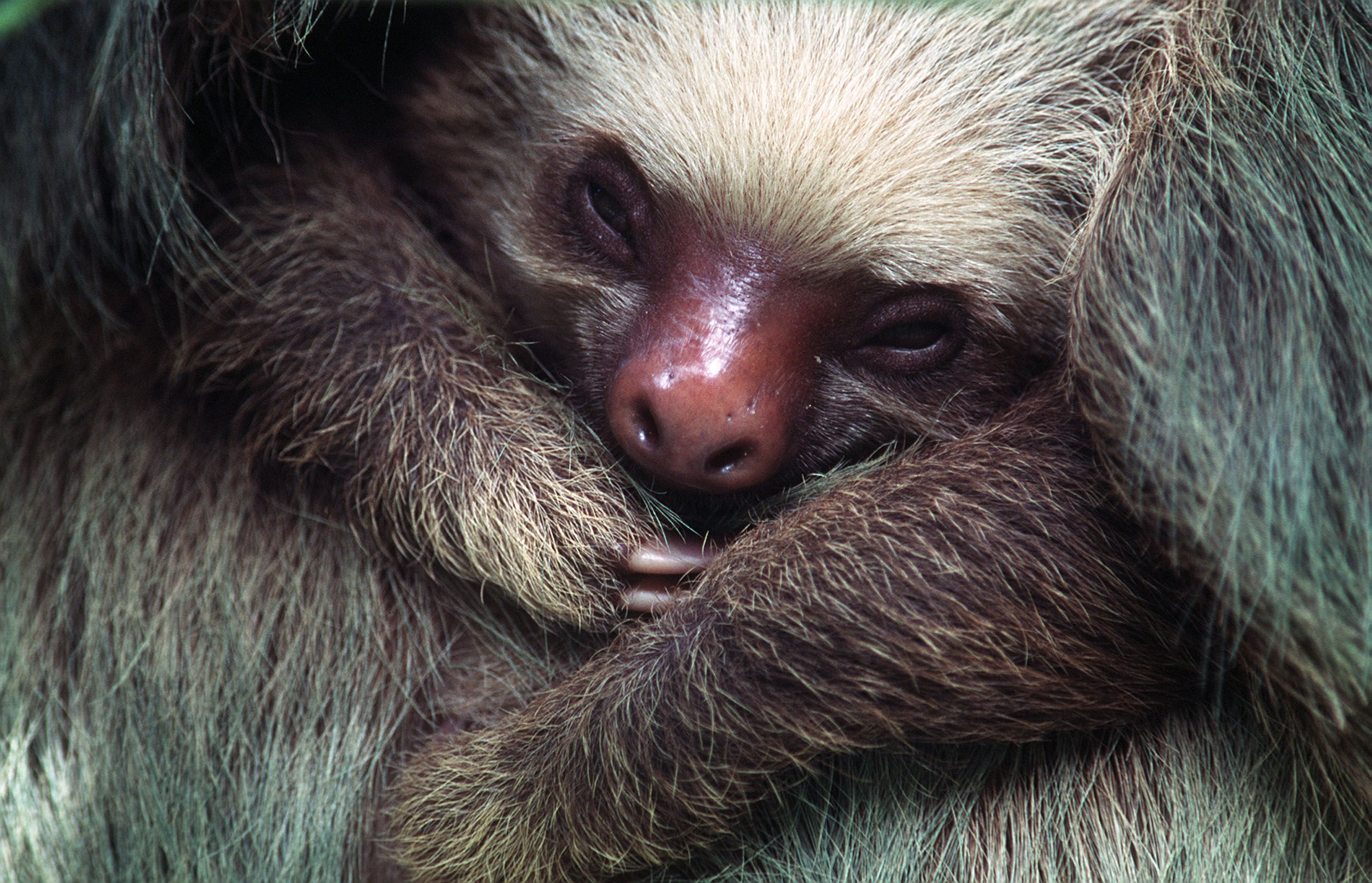 Sloth infant panama